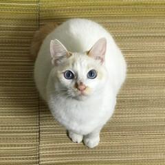 にゃんこ同好会/はちわれ猫/白猫 見上げる2猫🐱(2枚目)