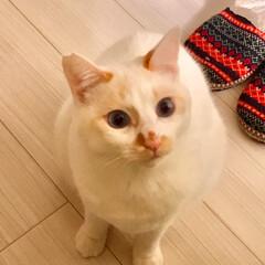 保護猫/満福君/白猫/にゃんこ同好会 おやつちょーだい🐱