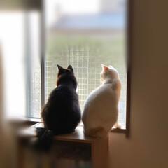 白猫/ハチワレ猫/保護猫/かぎしっぽ/LIMIAペット同好会/にゃんこ同好会/... 今日も2猫でお家を守ってくれてます🙂