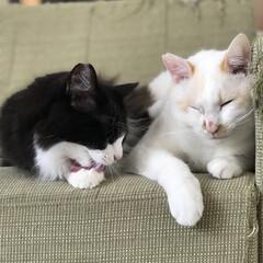 ボロボロソファ/白猫/ハチワレ/ニャンコ同好会/ソファ いつの間にか家族になって3年目突入してま…
