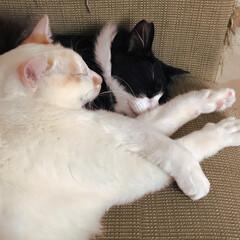はちわれ猫/白ねこ/保護猫/ニャンコ同好会 気持ちよく重なりあって💤  ボロボロのソ…