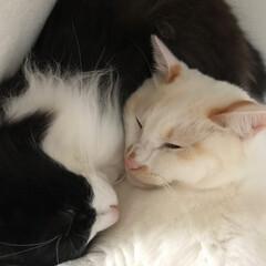 もんじ君/満福君/はちわれ猫/白猫/にゃんこ同好会/保護猫 寒くなってきたせいかひっつき頻度があがっ…