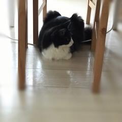 かぎしっぽ/ハチワレ/保護猫/ペット/ペット仲間募集/猫/... 連投失礼します。先程の載せ忘れ💦  椅子…