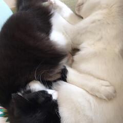かぎしっぽ/白猫/ハチワレ猫/保護猫/LIMIAペット同好会/にゃんこ同好会 仲良くお昼寝💤  もうすぐお昼ご飯だよ〜