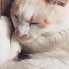 白猫/にゃんこ同好会/猫のいる暮らし 今日は一日中寝てるよ(1枚目)