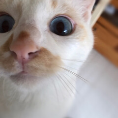 保護猫/白猫/ハチワレ/猫/ありがとう平成/LIMIAペット同好会/... 満福君ドアップオモチャの羽根に興奮気味😙…