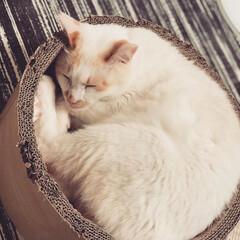 白猫/にゃんこ同好会/猫のいる暮らし 今日は一日中寝てるよ(2枚目)