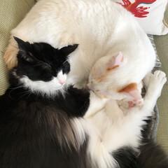かぎしっぽ/ハチワレ猫/白猫/保護猫/LIMIAペット同好会/にゃんこ同好会/... 満福のオケツを枕にして寝てるもんちゃん😊…