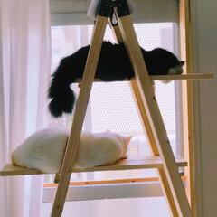 キャットタワーDIY/DIY/もんじ君/ハチワレ猫/満福君/白猫/... こちらのゴハンが気になる様子…見られてる…(2枚目)