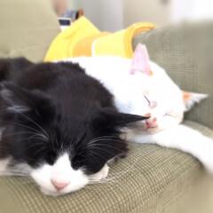保護猫/はちわれ猫/白猫/にゃんこ同好会 ストーブにあたりながらのお昼寝気持ちいニ…