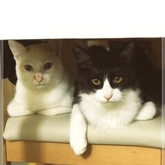 仲良し/かぎしっぽ/ハチワレ猫/保護猫/2018/ペット/... やっぱり最後は仲良し写真で締めくくり💕 …