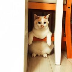 白猫/保護ねこ 久しぶりの足掛け座り、だいぶお腹がタポつ…