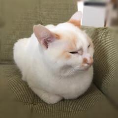 白猫/ニャンコ同好会/保護猫 今日は僕の場所(2枚目)