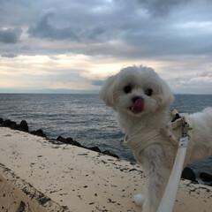 お散歩/わし/マルチーズ/リミアペット同好会 わし  今日は 大好きな 海岸公園に お…(4枚目)