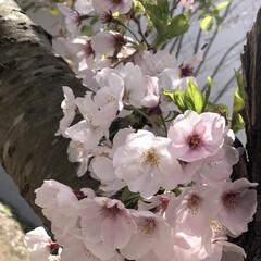 桜🌸 桜🌸桜🌸桜🌸桜🌸桜🌸  コロナ💧💧💧 過…