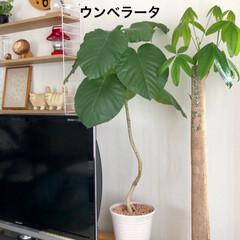 ストリングシェルフ/バーズワーズ/リサラーソン/ウンベラータ/パキラ/観葉植物/... パキラは 昨年 のびのびに なったのを …