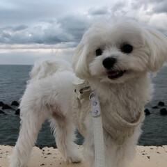 お散歩/わし/マルチーズ/リミアペット同好会 わし  今日は 大好きな 海岸公園に お…(3枚目)