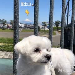 富士山/マルチーズ/お散歩 5月8日金曜日 そうちゃんとお散歩🚶♀…(1枚目)