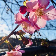 河津桜 河津桜🌸🌸 まだ 咲き始めた ばかりです…