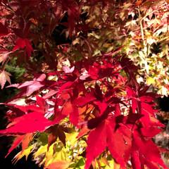 ライトアップ/河口湖紅葉🍁/紅葉狩り/秋/ペット/犬/... こんばんは⭐️今夜は、河口湖紅葉の回廊🍁…