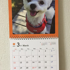 うれしいな/よろしくお願いします/カレンダー/かわいい/マルチーズ/インテリア おはようございます😊 3月に なりました…