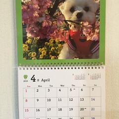 スタート/新年度/カレンダー/マルチーズ/ペット おはようございます 4月2日 月曜日 新…