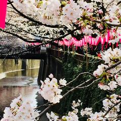 目黒川/桜満開/おでかけ 東京へ 用事があって お出かけ  目黒川…