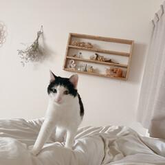 ベッド周り/寝室インテリア/夫婦二人暮し/古い家/ドライフラワーのある暮らし/飾り棚DIY/... ねこに起こしてもらう朝。(1枚目)