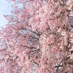 枝垂れ桜/桜/春 桜の花は葉桜に変わりつつあるけど枝垂れ桜…