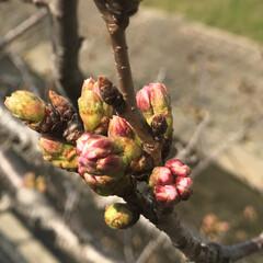 蕾/春/花/🍘/桜 もうすぐ咲きそう🌸