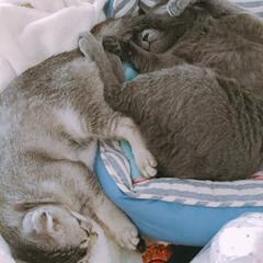 スコティッシュフォールドの麥(ムギ♀)/ロシアンブルーの弦ノ介/ニャンズ 寝相の悪い2人。  …いや、寝相悪すぎ。笑