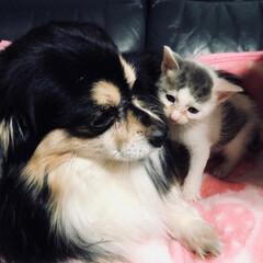 保護猫/LIMIAペット同好会/ペット仲間募集/犬/わんこ同好会/猫/... 我が家に来た当初の源くんと先輩犬のコジ兄…
