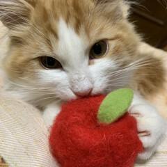 ノルウェージャンフォレストキャット/子猫/フォロー大歓迎/ペット/ペット仲間募集/猫/... Laphaのお気に入りのリンゴのおもちゃ…(1枚目)