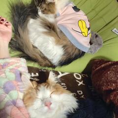 服を着た猫/ノルウェージャンフォレストキャット/フォロー大歓迎/ペット仲間募集/猫/にゃんこ同好会/... 目覚めるとこの光景💓 幸せすぎる〜(⌯˃…