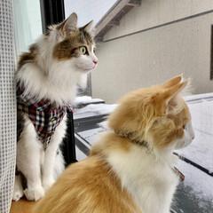 雪景色/雪/ノルウェージャンフォレストキャット/フォロー大歓迎/ペット仲間募集/猫/... ラファ🐈 産まれて初めて見る雪❄️ ジュ…