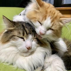 ノルウェージャンフォレストキャット/2018/フォロー大歓迎/ペット仲間募集/猫/にゃんこ同好会/... 愛猫 Lapha❤️Jule  毛づくろ…