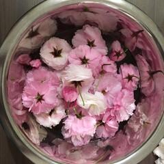 おでかけ/おうちごはん/キッチン/節約/フード/グルメ 桜が終わる前に摘んできました(´∀`) …