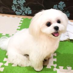 白い犬/癒しの時間/トリミング/マルペキ こんばんは✨  今日はムーちゃん! トリ…