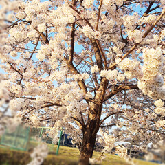 桜/春の花 桜が満開🌸