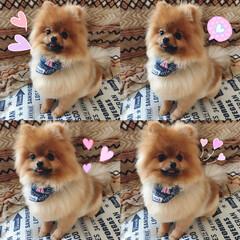愛犬/ポメラニアン/いぬ トリミングいってスッキリ♡