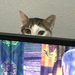愛/視線/にゃん/覗き/愛猫/猫収納/... 自部屋のゲームコーナーにて。 モンハンを…(1枚目)