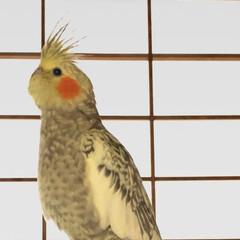 オカメインコ/インコ/鳥/くぅちゃん/トサカ/赤いほっぺ/... オカメインコのくぅちゃんです。トサカと赤…(1枚目)