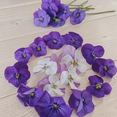 暮らしを楽しむ/おうち時間/お花のある暮らし/お花のある生活/ビオラ/お花/... お庭のビオラが、たくさんの花をつけてくれ…