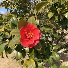 散歩道/ツバキ/暮らしを楽しむ/LIMIAおでかけ部/おでかけ/風景/... お散歩道にたくさん咲いていた椿の花ッ❀ …