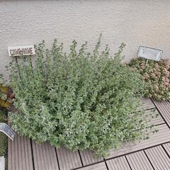 ガーデニング/小さなお庭/お庭/レモンタイム/タイム/ハーブ/... お庭のレモンタイムに小さなお花が咲きまし…(1枚目)