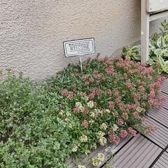 レモングラス/アリッサム/ガーデニング/小さなお庭/お庭/住まい アリッサムもりもりꕤꕤꕤ  きれいなピン…