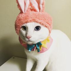 美ニャン/可愛い/オッドアイ白猫/オッドアイ/ねこイースターちゃん/ミックス/... シーツさん。 ねこイースターちゃんです。
