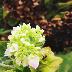 夏対策/ガーデニング/花 ドライになっている紫陽花と これから咲こ…
