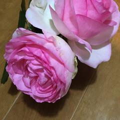 ピエールドゥロンサール/カップ咲き やっと咲き始めました😊 今年はツボミが多…(1枚目)