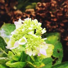 夏対策/ガーデニング/花 ドライになっている紫陽花と これから咲こ…(2枚目)